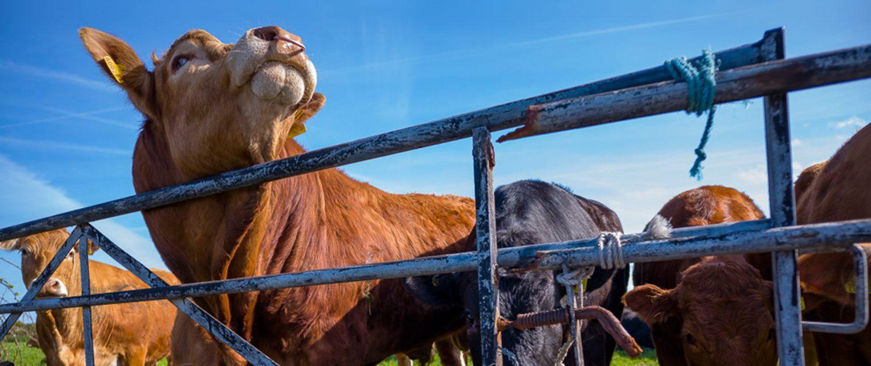Trevedra Farm Cows